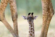 Giraffes / by Kristi Fritts Everhart