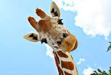 Giraffe's / by Pamela Huggins