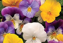 Pretty Pansies / by Nicole