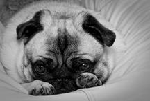 Pugs,pugs,pugs=love,love,love / by Brenda Horwitz