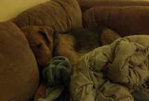 Maggie, the Airedale terrier. / Airedale Terrier / by Amber Bosarge