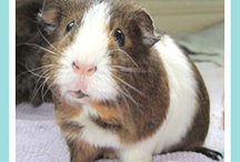 American Pet Loves Guinea Pigs,Piggys and Cavys / by American Pet Diner