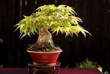 Shohin trees / by Bonsai Empire