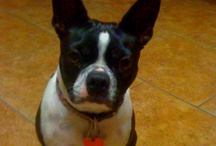 Reagan our Boston Terrier / My Boston Terrier Reagan / by Viola Pitcher