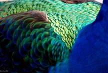 Peacock Hues / These colours inspire me! / by Rena Sindi