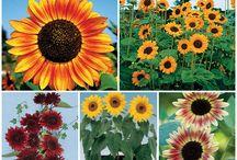 Sunflowers my Fav / by Sharlet Hastings