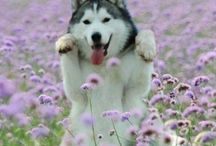 Husky / My lovely dogs!!! / by Lindy Mrgn