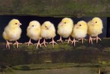 Chickens! / by Kim Johnson