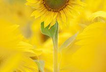 sunflowers / by Gratzy