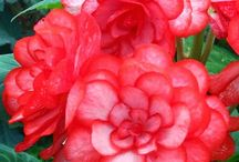 Beguiling Begonias / Begonia's are one of my favorite flowers ever, they can be as borders, in beds or hanging baskets.  And the colors are from pale pastels, to vivid solids, or mixed colors, everything in between!!! / by Betty Waters Grinder