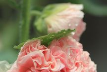 hollyhock / by Alyce Carrillo