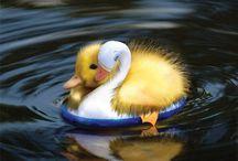 Ducks + / by Kim Cartwright