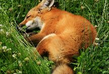 What the fox says / by Rylee SugarFree