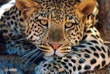 wild animals of africa / by Desmond C