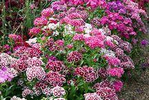 Dianthus (Sweet William) / by REGINA Wilson