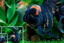 Fish  / Aquarium fish bettas goldfish aquatic plants tropical fish  / by Amy Zalasky
