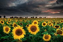 Sunflowers for Daddy / by Barbara Harris