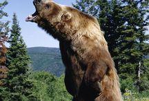 Bears / by Scott Robertson