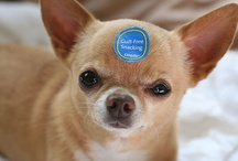 I <3 Chihuahuas / I have a strong love for Chihuahuas. They are such a smart and talented breed with so much love to share. Each one has its own personality that makes it so easy to fall in love with them.  / by Crystal Church