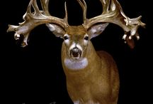 Giant White Tails and Mule Deer! / by David West