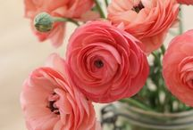 RANUNCULUS  / My favourite flower. / by Amy
