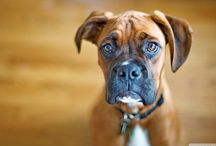 """Boxer Dogs: say """"Wiggles"""" / Cute boxer dog pictures / by Daily Boxer"""