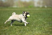 Pugs and other Adorable Dogs / by Megan Matera Seidenfeld
