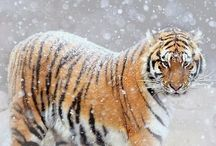 Tigers / by Kim Hart