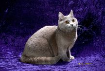 CHARTREUX / by Cat Fanciers Association