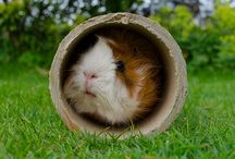 Guinea Pigs / by Abby Chack