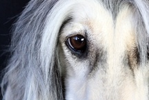 afghan hounds / by Tove Andersen