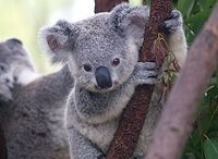 Koala Love / by Ebony Reeves