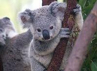 Koala Love / by Ebony Reeves