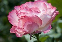 flowers / by Lynn Lerch