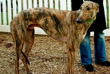 GREYHOUNDS / by Terri Banks