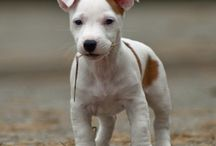 Baby Angels/ Jack Russels / by Brenda DuLaney