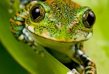 Froggies! / I own two African Clawed [Jelly] Frogs. They are so pretty and fun to watch. I want to celebrate the beauty of frogs and toads. / by Richard Mansel