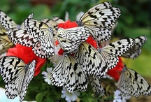 Butterflies and Moths / Men pass in front of our eyes like butterflies, creatures of a brief season. We love them; they are brave, proud, beautiful, clever; and they die almost at once. They die so soon that our hearts are continually racked with pain. Philip Pullman  / by Clara A