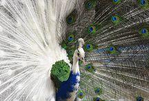 peacocks / by Margo Bangert