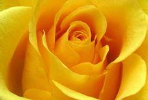 Color Wheel: YELLOW / All things YELLOW: Amber. Apricot. Beige. Buff. Cream. Dark goldenrod. Ecru. Gold. Goldenrod. Green-yellow. Jasmine. Jonquill. Khaki. Lemon chiffon. Lime. Lion. Maize. Mikado yellow. Naples yellow. Navajo white. Olive. Papaya whip. Saffron. School bus yellow. Selective yellow. Still de grain yellow. Sunglow. Vanilla. Yellow. / by Katy Proudfoot