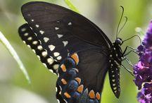Butterflies / by Pat Rosengrants