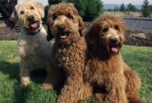 labradoodles / by Annette Beauvais