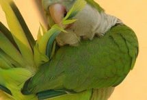 Quaker Parrots / Quaker Parrots / by Margaret Osudar