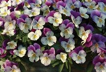 Pansies for thoughts / by Lizzie Price
