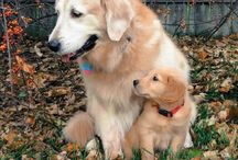 goldens / by Marie Owens