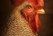 Chicken Love / by Tracey Devlin