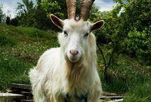 Goats / by Judith Cowan