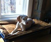 Broque Du Borbonnaise / Broque Du Borbonnaise dogs and their Kuranda beds! / by Kuranda Dog Beds