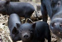 pigs! / by Janet Valencia