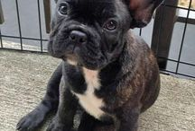 French bulldogs. I will have one.  / by Caleigh Flynn